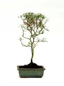 Sophora prostrata 'Little baby' bonsai