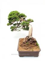 Juniperus 'Grey Owl' bonsai