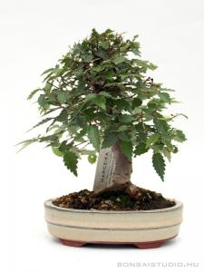 Zelkova serrata bonsai 02.