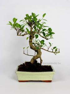 Ficus retusa  bonsai 25S
