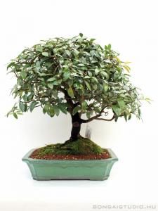 Ilex species - bonsai zöld mázas tálban
