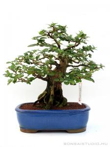 Premna ovalifolium bonsai 01.