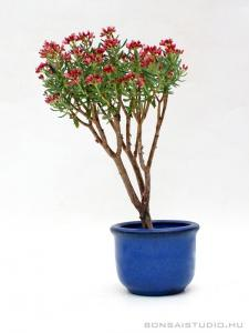 Tetragona sp. bonsai 01.