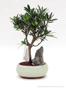 Podocarpus macrophylla mini bonsai