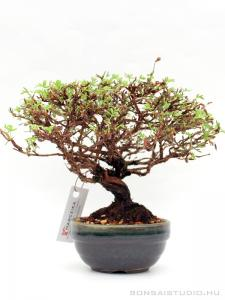 Potentilla fruticosa shohin bonsai 03.