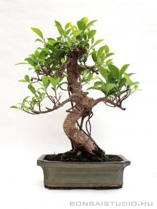 Ficus retusa beltéri bonsai 25S