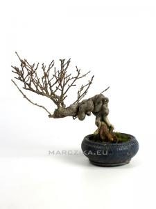 Ilex serrata shohin bonsai 03.