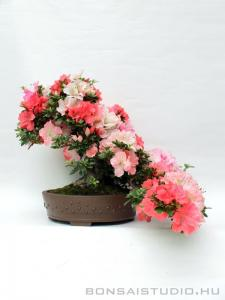 Rhododendron indicum bonsai 11.