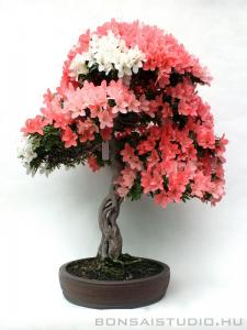 Rhododendron indicum bonsai 12.