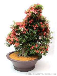 Rhododendron indicum bonsai 14.