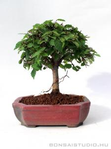 Zelkova serrata shohin bonsai 04.