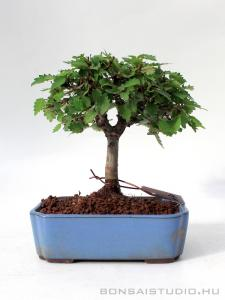 Zelkova serrata shohin bonsai 05.