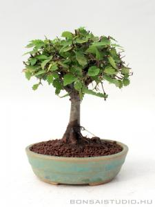 Zelkova serrata shohin bonsai 06.