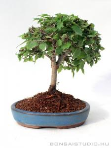 Zelkova serrata shohin bonsai 08.