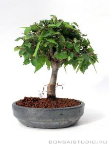 Zelkova serrata shohin bonsai 10.