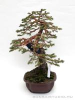 Picea abies bonsai 01.