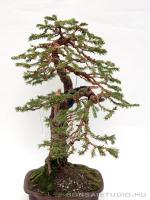 Picea abies bonsai 01.}