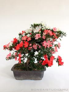 Rhododendron indicum bonsai 15.