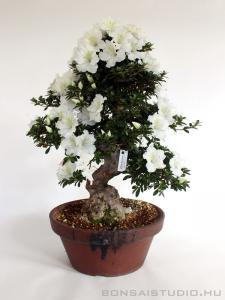 Rhododendron indicum bonsai 16.