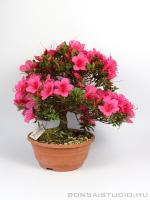 Rhododendron indicum bonsai 18.