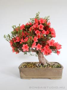 Rhododendron indicum bonsai 19.