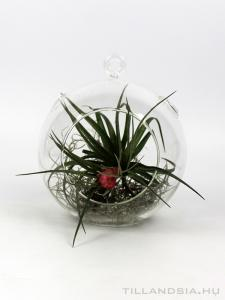 Air plant 04. - Tillandsia stricta