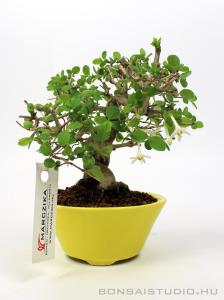 Lonicera sp. shohin bonsai 02.