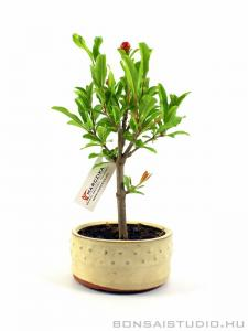 Punica granatum bonsai 01.