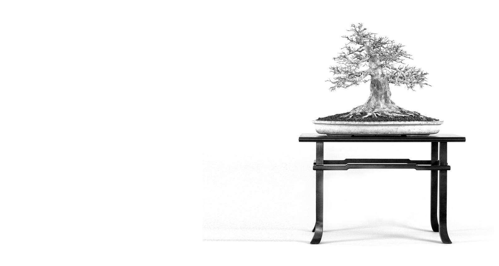 acer buergerianum bonsai kaede haromeru juhar