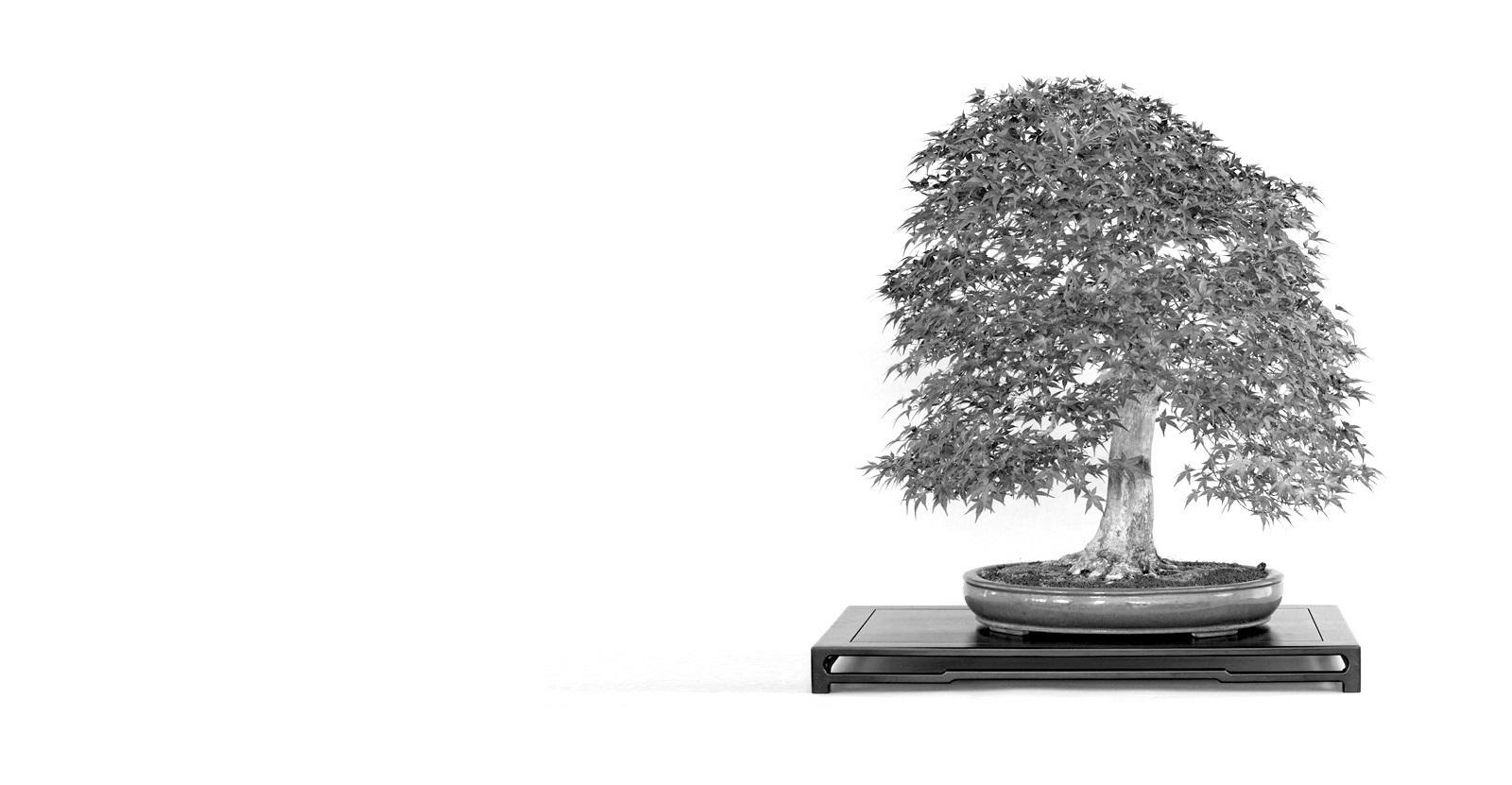 japan juhar bonsai acer palmatum trident mapple bonsai a marczka bonsai kerteszet gyujtemenyebol