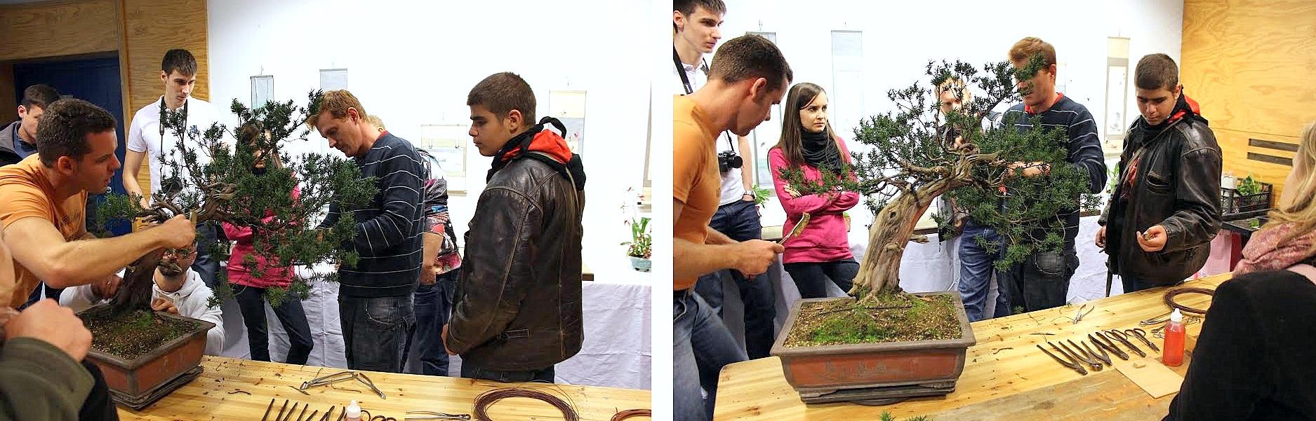 taxus cuspidata pre bonsai alakitasa bonsai demo alatt papp sandor bonsai mester altal az egyetemi bonsai club kiallitasan