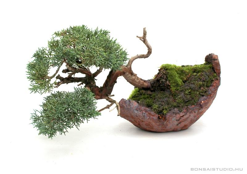 juniperus chinensis han kengai bonsai