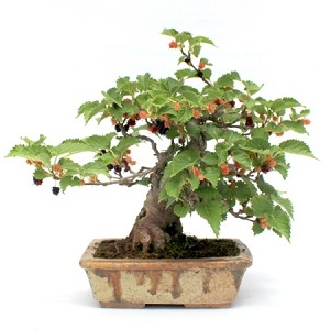 kulteri bonsai fak bonsai kertbe bonsai gyujtemenybe is a marczika bonsai kerteszet kinalatabol