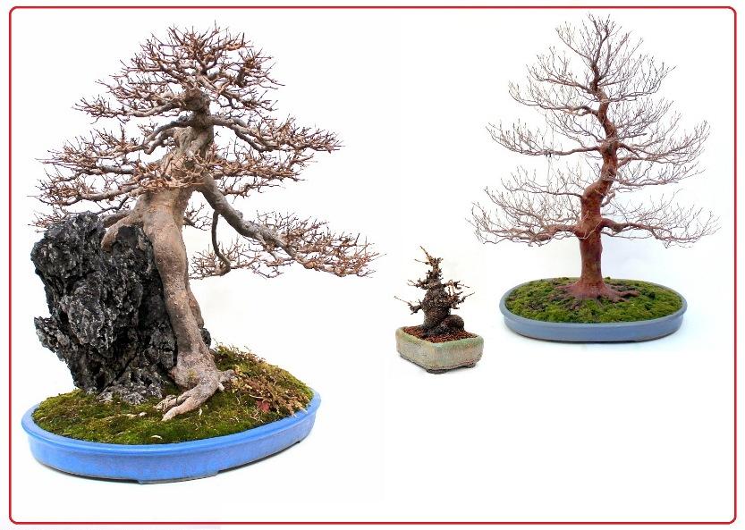 lombhullato bonsai fa vasarlas rendeles bonsai kerteszet nursery garden kert garten