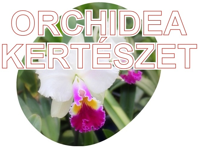 orchidea kerteszet kommersz hibrid lepke es phalaenopsis orchidea es botaniki orchid felek az orchideacsodak webaruhaz kinalataban
