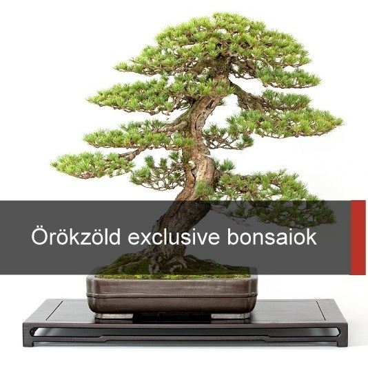 orokzold evergreen bonsai kinalat gyujtemeny collection exclusive bonsai vasarlas kerteszet japankertek elemei fenyo boroka rhododendron es satsuki azalea a marczika bonsai studioban