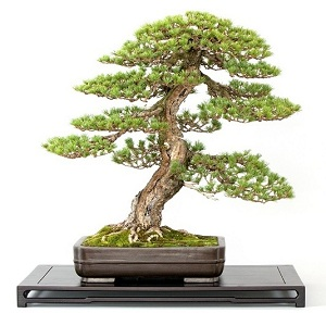 orokzold evergreen bonsai kinalat gyujtemeny collection exclusive bonsai vasarlas kerteszet japankertek elemei fenyo a marczika bonsai studioban