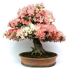 flowering viragzo bonsai fa vasarlas rendeles bonsai kerteszet nursery garden kert garten